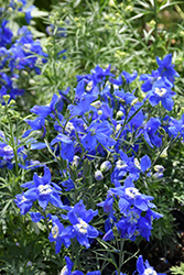 Summer Cloud Delphinium (Delphinium grandiflorum 'Summer Cloud') at Culver's Garden Center