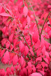 Cole's Compact Burning Bush (Euonymus alatus 'Cole's Compact') at Culver's Garden Center