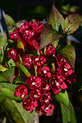 Maroon Swoon® Weigela (Weigela 'Slingco 2') at Culver's Garden Center