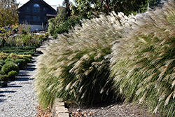 Gracillimus Maiden Grass (Miscanthus sinensis 'Gracillimus') at Culver's Garden Center