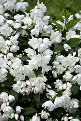 Snowbelle Mockorange (Philadelphus 'Snowbelle') at Culver's Garden Center