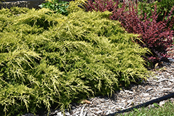 Gold Lace Juniper (Juniperus x media 'Gold Lace') at Culver's Garden Center