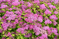 Magic Carpet Spirea (Spiraea x bumalda 'Magic Carpet') at Culver's Garden Center