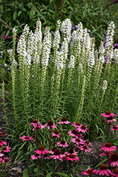 Floristan White Blazing Star (Liatris spicata 'Floristan White') at Culver's Garden Center