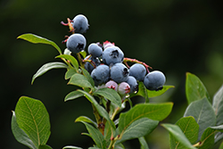 Northland Blueberry (Vaccinium corymbosum 'Northland') at Culver's Garden Center