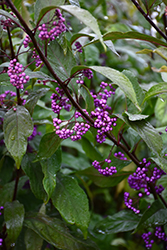 Purple Pearls® Beautyberry (Callicarpa 'NCCX1') at Culver's Garden Center