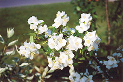 Blizzard Mockorange (Philadelphus 'Blizzard') at Culver's Garden Center