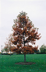 Swamp White Oak (Quercus bicolor) at Culver's Garden Center