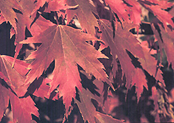 Firefall Maple (Acer x freemanii 'Firefall') at Culver's Garden Center