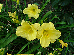 Pocket Full Of Gold Daylily (Hemerocallis 'Poczam') at Culver's Garden Center