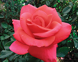 We Salute You Rose (Rosa 'WEKvoosun') at Culver's Garden Center