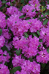 Compact P.J.M. Rhododendron (Rhododendron 'P.J.M. Compact') at Culver's Garden Center