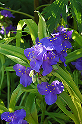 Sweet Kate Spiderwort (Tradescantia x andersoniana 'Sweet Kate') at Culver's Garden Center