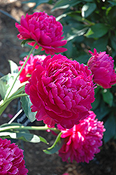Paul Wild Peony (Paeonia 'Paul Wild') at Culver's Garden Center