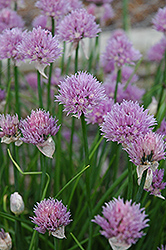 Chives (Allium schoenoprasum) at Culver's Garden Center