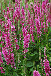 Red Fox Speedwell (Veronica spicata 'Red Fox') at Culver's Garden Center