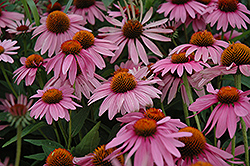 Magnus Coneflower (Echinacea purpurea 'Magnus') at Culver's Garden Center