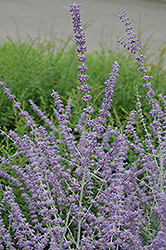 Russian Sage (Perovskia atriplicifolia) at Culver's Garden Center