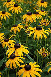 Goldsturm Coneflower (Rudbeckia fulgida 'Goldsturm') at Culver's Garden Center
