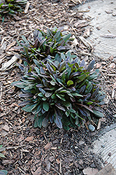 Chocolate Chip Bugleweed (Ajuga reptans 'Chocolate Chip') at Culver's Garden Center