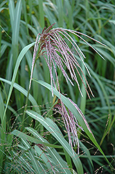 Maiden Grass (Miscanthus sinensis) at Culver's Garden Center