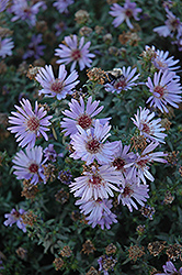 Woods Blue Aster (Aster 'Woods Blue') at Culver's Garden Center
