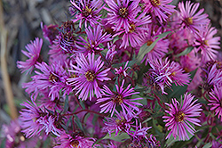 Woods Pink Aster (Aster 'Woods Pink') at Culver's Garden Center