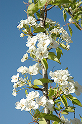 Summercrisp Pear (Pyrus 'Summercrisp') at Culver's Garden Center