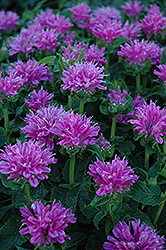 Petite Delight Beebalm (Monarda 'Petite Delight') at Culver's Garden Center