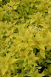 Goldmound Spirea (Spiraea japonica 'Goldmound') at Culver's Garden Center