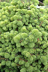 Little Gem Spruce (Picea abies 'Little Gem') at Culver's Garden Center