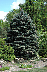 Fat Albert Blue Spruce (Picea pungens 'Fat Albert') at Culver's Garden Center