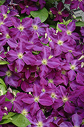 Jackmanii Superba Clematis (Clematis x jackmanii 'Superba') at Culver's Garden Center