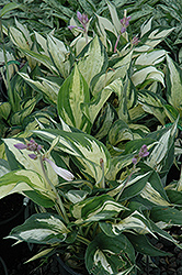 Revolution Hosta (Hosta 'Revolution') at Culver's Garden Center
