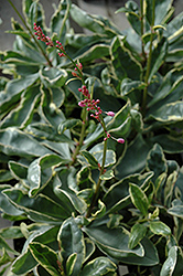 Jewel Of Opar (Talinum paniculatum 'Variegatum') at Culver's Garden Center