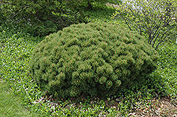 Slowmound Mugo Pine (Pinus mugo 'Slowmound') at Culver's Garden Center