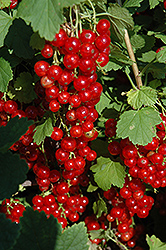Red Lake Red Currant (Ribes sativum 'Red Lake') at Culver's Garden Center
