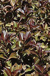 Dark Horse Weigela (Weigela florida 'Dark Horse') at Culver's Garden Center