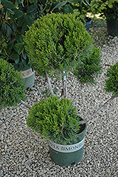 Mint Julep Juniper (pom pom) (Juniperus chinensis 'Mint Julep (pom pom)') at Culver's Garden Center