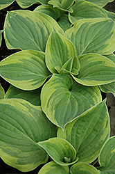 Wide Brim Hosta (Hosta 'Wide Brim') at Culver's Garden Center