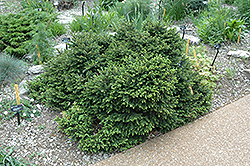 Pumila Norway Spruce (Picea abies 'Pumila') at Culver's Garden Center