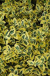 Emerald 'n' Gold Wintercreeper (Euonymus fortunei 'Emerald 'n' Gold') at Culver's Garden Center
