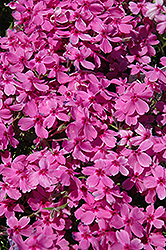 Red Wings Moss Phlox (Phlox subulata 'Red Wings') at Culver's Garden Center