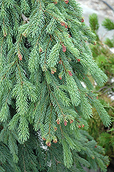 Weeping White Spruce (Picea glauca 'Pendula') at Culver's Garden Center