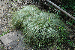 New Zealand Hair Sedge (Carex comans 'Frosted Curls') at Culver's Garden Center