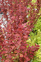 Red Carpet Japanese Barberry (Berberis thunbergii 'Red Carpet') at Culver's Garden Center