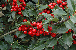 Berri-Magic Meserve Holly (Ilex x meserveae 'Berri-Magic') at Culver's Garden Center