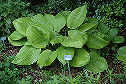 Sum and Substance Hosta (Hosta 'Sum and Substance') at Culver's Garden Center