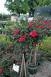 Knock Out® Rose Tree (Rosa 'Radrazz') at Culver's Garden Center