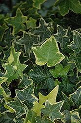 Gold Child Ivy (Hedera helix 'Gold Child') at Culver's Garden Center